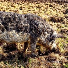 """Our little mangalitsas are starting to get so fuzzy, living up to the breed's nickname, """"wooly pigs."""""""