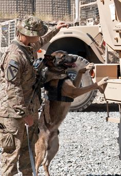 U.S. Army Spc. Alex Serna has Army Sgt. Coma, a military working dog, check out a truck during a practice course on Forward Operating Base Tagab in Kapisa province, Afghanistan, Sept. 6, 2013. Serna, a dog handler, and Coma, a tactical explosive detector dog, are assigned to the 10th Mountain Division's Company A, 2nd Battalion, 4th Infantry Regiment, 4th Brigade Combat Team. U.S. Army photo by Sgt. Margaret Taylor