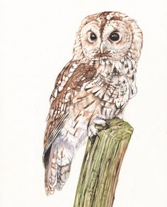 Tawny owl Print of watercolour painting A4 size by LouiseDeMasi