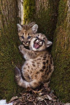 Mountain Lion Cubs - ferocious!