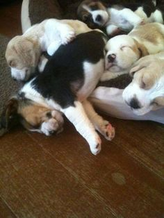 ❤ Beagle puppies snoozing