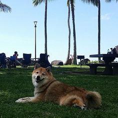 Shiba Inu Kitsune chilling at the beach park.