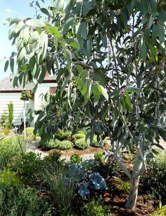 New Fruit Trees Backyard Shrubs Ideas Australian Garden Design, Australian Native Garden, Australian Plants, Cottage Garden Plants, Garden Shrubs, Bush Garden, Fruit Garden, D House, Landscaping With Rocks