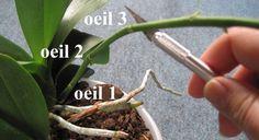conseguir una segunda floración de las orquídeas 1