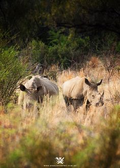 Rhinos in South Africa safari. Kruger National Park, National Parks, South Africa Safari, Safari Holidays, Out Of Africa, African Safari, Adventure Is Out There, Oh The Places You'll Go, Animal Kingdom