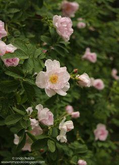 Canadian rose John Davis Romppala - Lindan pihalla