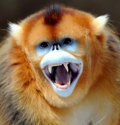 Snub-nosed Monkey"