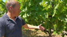 From the Vine: Great Year Taking Shape. Kyle Lerner of Harney Lane Winery in Lodi shows how some of his zinfandel grapes have progressed in late spring.