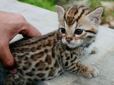 Baby ocelot. Its face!