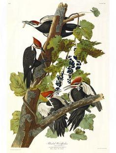 Audubon 111 Pileated Woodpecker