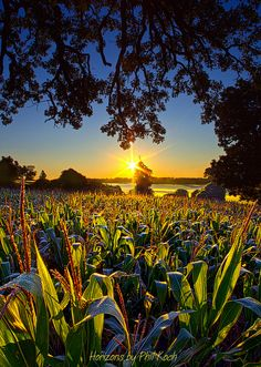 Sunrise in Wisconsin over the fields of corn (by Phil Koch)