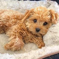 Poodles are a type of dog breed, which makes a unique impression on us than the other dog breeds. Super Cute Puppies, Cute Little Puppies, Cute Little Animals, Cute Dogs And Puppies, Baby Puppies, Cute Funny Animals, Doggies, Cute Animal Pictures, Puppy Pictures