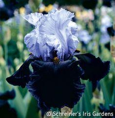 Dangerous Mood | Tall Bearded Iris