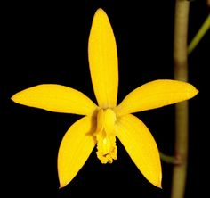 JEWELL ORCHIDS – BIN - Laelia macrobulbosa orchid plant