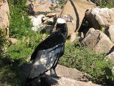 Condor que podrás ver en la visita a la Quebrada de los Condores - http://www.viaweb.com.ar/buscar/index.php?t=992