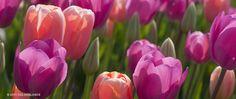 A garden photograph of the spring flowering Tulip named Sherbet.