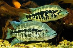 Parachromis_dovii