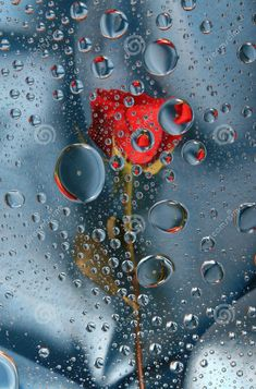 Rote Rose in Wassertropfen Dew Drops, Rain Drops, Beautiful Images, Beautiful Flowers, Fleur Orange, I Love Rain, Drip Drop, Water Droplets, Dancing In The Rain