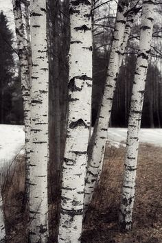 (Caisa K) Birch trees...reminds me of my childhood.