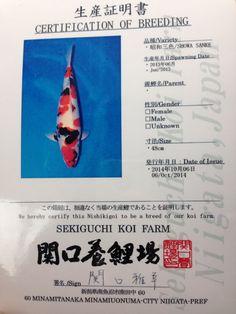Sekiguchi showa for sale