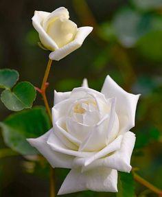 """1,190 Me gusta, 12 comentarios - best roses (@best.roses90) en Instagram: """"Good morning 🌸🌸 @nagaokayuuji 🌹🌹🌹🌹🌹 #bns_flowers  #great_captures_flowers  #traveling_garden…"""""""