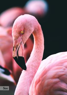 Flamingo. Golden Eye by Matthias Janssen