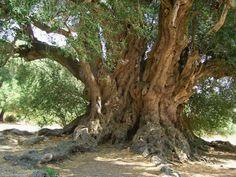 S'Ozastru, 3000 / 4000 year old Sardinian olive tree Cactus, Unique Trees, Old Trees, Photo Tree, Olive Tree, Growing Tree, Amazing Nature, Landscape Art, Trees To Plant