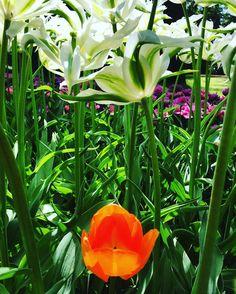 #amsterdam#netherlands#holland#holanda#nature#landscape#green#tulips#holidays#holiday#spring#flowers#flowersofinstagram#ig_netherlands#igersnetherlands#ig_amsterdam#igersamsterdam#discovereurope#ig_europe#igerseurope#europe#travel#traveling#traveler#travelgram#travelling#trip#eurotrip#europa by alitzelsoleil