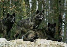 Beautiful Black Wolves
