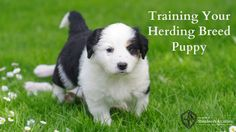 Grace Stephen discusses some important things you should know before you begin training your herding breed puppy.