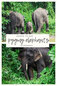 Pygmy Elephants in Borneo. The chance to see these creatures in the wild should not be passed up. Borneo Travel, Malaysia Travel, Asia Travel, Travel Inspiration, Travel Ideas, Travel Tips, Places To Travel, Travel Destinations, Corona