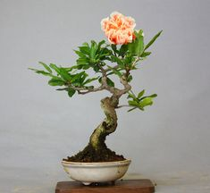 Pomegranate Bonsai in Bloom