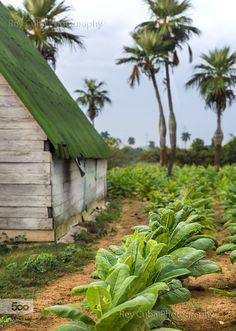 Tobacco plantation..Pinar del Rio, Cuba