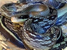A Vietnamese blue beauty here at Northampton Reptile Centre, we have 2 left...