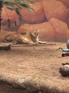 Iion Los Angeles Zoo, Kangaroo, Mount Rushmore, Mountains, Nature, Travel, Animals, Baby Bjorn, Naturaleza