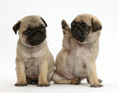 Pug puppies, one waving to the other
