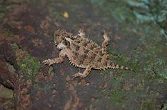 Reencuentro de la lagartija llora sangre, esta especie no se había registrado en el área de la REPSA desde hace muchos años, reencontrarla nos aviva la esperanza