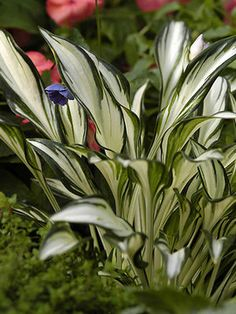 Hosta-Fireworks-Bluestone Perennials - Have 3 of these in the woodland planting area.