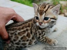 baby leopard cat in Taiwan