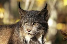 This Is Local London: Lara the lynx (similar to the one pictured above) was captured after being spotted in a back garden in Cricklewood...