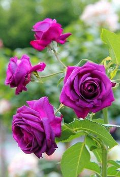Beautiful Flowers Images, Exotic Flowers, Amazing Flowers, Beautiful Roses, Pretty Flowers, Beautiful Gardens, Rose Images, Flower Images, Flower Pictures