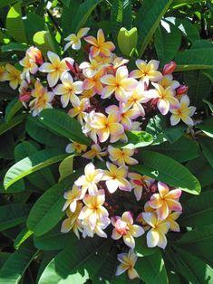 hibiscus flower drawing parts Exotic Flowers, Tropical Flowers, Amazing Flowers, Colorful Flowers, Beautiful Flowers, Purple Flowers, Plumeria Tree, Plumeria Flowers, Hawaiian Flowers
