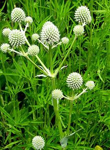 Rattlesnakemaster (Erynigium yuccifolium) gets its name because some Native Americans used its root as an antidote for rattlesnake venom. The scientific name was given because its leaves resemble those of yuccas. Fibers of rattlesnake master have also been found as one of the primary materials used in the ancient shoe construction of Midwestern Native Americans...wiki