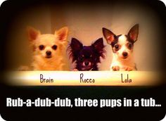 Bath time for the #chihuahuas!