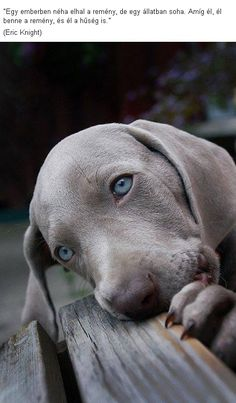 Weimaraner puppies are just the cutest! I may be a bit biased though. think ALL puppies are cute Baby Dogs, Pet Dogs, Dog Cat, Doggies, Pet Pet, Dachshund Dog, Baby Baby, Animals And Pets, Baby Animals