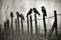 Hooded crows by Sampo Kiviniemi