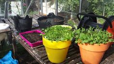 How to grow your own wild plants and herbs, for rabbits and guinea pigs...