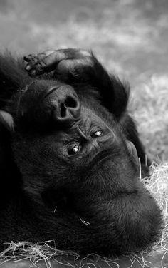 gorgeous gorilla   stare   eyes   amazing creative   mother nature   black & white   rest   www.republicofyou.com.au