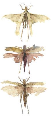 "INSECTS--three locusts - kate osborne: Leviticus Not very appetizing, but in cases of emergency, informative. There are actually ""clean"" and ""unclean"" insects--some designed to be consumed as a human food source. Watercolor Illustration, Watercolor Paintings, Watercolors, Watercolour Birds, Kate Osborne, Insect Art, A Level Art, Art Portfolio, Natural History"
