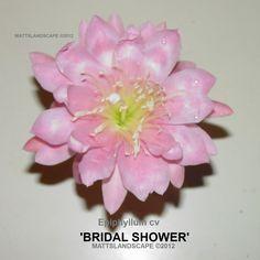 Epiphyllum hybrid 'Bridal Shower'